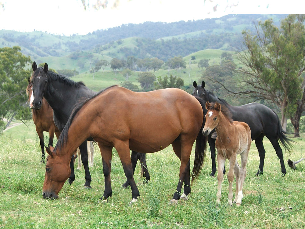 Main Camp Australian Stock Horse Stud